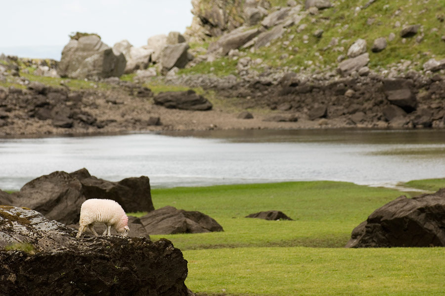 Sheep grazing in the Gap of Dunloe